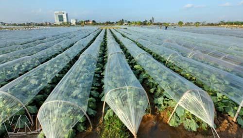 Sản xuất rau quả: Để thắng lợi trọn vẹn