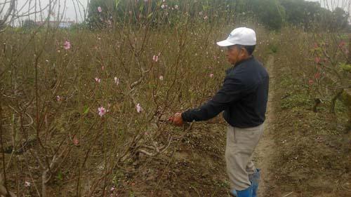 Người tiên phong đưa cây đào về thôn Núm