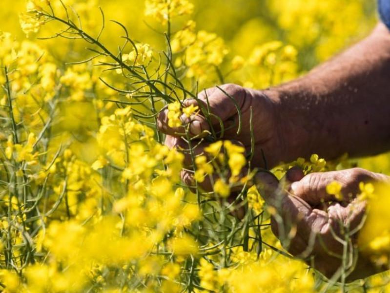 Bang New South Wales (Úc) bỏ lệnh hạn chế cây trồng biến đổi gen sau 18 năm