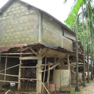 Xây chuồng trại chăn nuôi tránh lũ ở Quảng Trị: Hiệu quả nhiều mặt