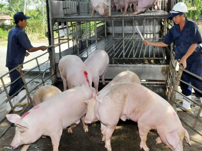 Tin NN: Giá thịt lợn lùi dần xuống dưới 70.000 đồng/kg, hộ chăn nuôi nhỏ lẻ lo lắng
